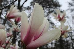 IMG_5055 (avsfan1321) Tags: dc washingtondc washington usa unitedstates unitedstatesofamerica arboretum nationalarboretum cherryblossomfestival tree pink floweringmagnolia magnolia