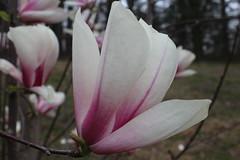 IMG_5054 (avsfan1321) Tags: dc washingtondc washington usa unitedstates unitedstatesofamerica arboretum nationalarboretum cherryblossomfestival tree pink floweringmagnolia magnolia