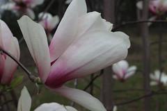 IMG_5051 (avsfan1321) Tags: dc washingtondc washington usa unitedstates unitedstatesofamerica arboretum nationalarboretum cherryblossomfestival tree pink floweringmagnolia magnolia