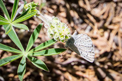 A butterfly nibbling on some Sierra Lupine