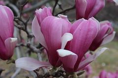 IMG_5043 (avsfan1321) Tags: dc washingtondc washington usa unitedstates unitedstatesofamerica arboretum nationalarboretum cherryblossomfestival tree pink floweringmagnolia magnolia