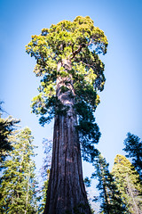 Sequoia in Grant Grove