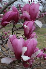 IMG_5042 (avsfan1321) Tags: dc washingtondc washington usa unitedstates unitedstatesofamerica arboretum nationalarboretum cherryblossomfestival tree pink floweringmagnolia magnolia