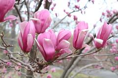 IMG_5040 (avsfan1321) Tags: dc washingtondc washington usa unitedstates unitedstatesofamerica arboretum nationalarboretum cherryblossomfestival tree pink floweringmagnolia magnolia