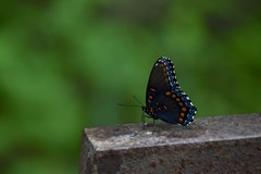 Indian Hollow Butterfly (Myusername432) Tags: butterfly insect bug ohio park metroparks nature animal