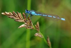 Enallagma cyathigerum (PJ Swan) Tags: damselfly insect blue pretty wildlife uk durham