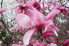 IMG_5090 (avsfan1321) Tags: dc washingtondc washington usa unitedstates unitedstatesofamerica arboretum nationalarboretum cherryblossomfestival tree pink floweringmagnolia magnolia