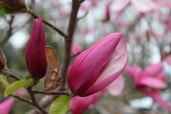 IMG_5087 (avsfan1321) Tags: dc washingtondc washington usa unitedstates unitedstatesofamerica arboretum nationalarboretum cherryblossomfestival tree pink floweringmagnolia magnolia