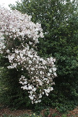 IMG_5084 (avsfan1321) Tags: dc washingtondc washington usa unitedstates unitedstatesofamerica arboretum nationalarboretum cherryblossomfestival tree pink floweringmagnolia magnolia floweringstarmagnolia starmagnolia