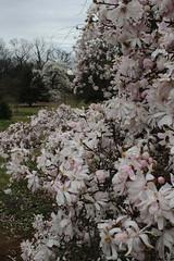 IMG_5083 (avsfan1321) Tags: dc washingtondc washington usa unitedstates unitedstatesofamerica arboretum nationalarboretum cherryblossomfestival tree pink floweringmagnolia magnolia floweringstarmagnolia starmagnolia