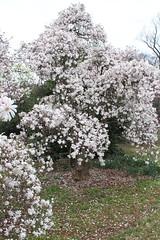 IMG_5082 (avsfan1321) Tags: dc washingtondc washington usa unitedstates unitedstatesofamerica arboretum nationalarboretum cherryblossomfestival tree pink floweringmagnolia magnolia floweringstarmagnolia starmagnolia