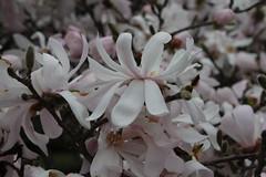 IMG_5081 (avsfan1321) Tags: dc washingtondc washington usa unitedstates unitedstatesofamerica arboretum nationalarboretum cherryblossomfestival tree pink floweringmagnolia magnolia floweringstarmagnolia starmagnolia