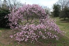 IMG_5079 (avsfan1321) Tags: dc washingtondc washington usa unitedstates unitedstatesofamerica arboretum nationalarboretum cherryblossomfestival tree pink floweringmagnolia magnolia floweringstarmagnolia starmagnolia