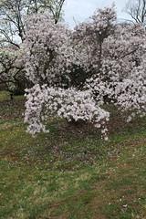 IMG_5075 (avsfan1321) Tags: dc washingtondc washington usa unitedstates unitedstatesofamerica arboretum nationalarboretum cherryblossomfestival tree pink floweringmagnolia magnolia floweringstarmagnolia starmagnolia