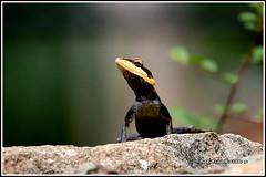 8971 - peninsular rock agama (chandrasekaran a 61 lakhs views Thanks to all.) Tags: peninsular rockagama agama reptiles nature india tamilnadu canoneos6dmarkii tamronsp150600mmg2 yelagiri hills