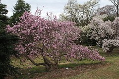 IMG_5068 (avsfan1321) Tags: dc washingtondc washington usa unitedstates unitedstatesofamerica arboretum nationalarboretum cherryblossomfestival tree pink floweringmagnolia magnolia floweringstarmagnolia starmagnolia