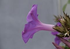 trumpet flower.jpg (remiklitsch) Tags: flower purple nature calm remiklitsch leica