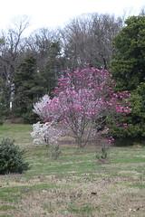 IMG_5063 (avsfan1321) Tags: dc washingtondc washington usa unitedstates unitedstatesofamerica arboretum nationalarboretum cherryblossomfestival tree pink floweringmagnolia magnolia