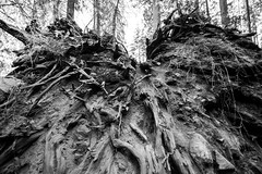 What's left of the roots when a sequoia topples