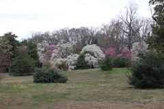IMG_5061 (avsfan1321) Tags: dc washingtondc washington usa unitedstates unitedstatesofamerica arboretum nationalarboretum cherryblossomfestival tree pink floweringmagnolia magnolia