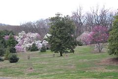 IMG_5059 (avsfan1321) Tags: dc washingtondc washington usa unitedstates unitedstatesofamerica arboretum nationalarboretum cherryblossomfestival tree pink floweringmagnolia magnolia