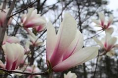 IMG_5058 (avsfan1321) Tags: dc washingtondc washington usa unitedstates unitedstatesofamerica arboretum nationalarboretum cherryblossomfestival tree pink floweringmagnolia magnolia