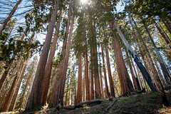 A sequoia grove in Redwood Canyon