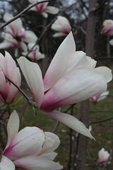 IMG_5053 (avsfan1321) Tags: dc washingtondc washington usa unitedstates unitedstatesofamerica arboretum nationalarboretum cherryblossomfestival tree pink floweringmagnolia magnolia