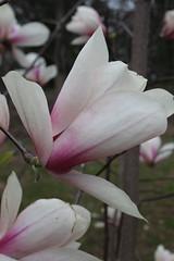 IMG_5052 (avsfan1321) Tags: dc washingtondc washington usa unitedstates unitedstatesofamerica arboretum nationalarboretum cherryblossomfestival tree pink floweringmagnolia magnolia