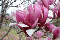 IMG_5047 (avsfan1321) Tags: dc washingtondc washington usa unitedstates unitedstatesofamerica arboretum nationalarboretum cherryblossomfestival tree pink floweringmagnolia magnolia