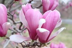IMG_5044 (avsfan1321) Tags: dc washingtondc washington usa unitedstates unitedstatesofamerica arboretum nationalarboretum cherryblossomfestival tree pink floweringmagnolia magnolia