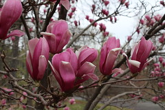 IMG_5039 (avsfan1321) Tags: dc washingtondc washington usa unitedstates unitedstatesofamerica arboretum nationalarboretum cherryblossomfestival tree pink floweringmagnolia magnolia