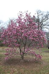 IMG_5038 (avsfan1321) Tags: dc washingtondc washington usa unitedstates unitedstatesofamerica arboretum nationalarboretum cherryblossomfestival tree pink floweringmagnolia magnolia