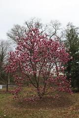 IMG_5037 (avsfan1321) Tags: dc washingtondc washington usa unitedstates unitedstatesofamerica arboretum nationalarboretum cherryblossomfestival tree pink floweringmagnolia magnolia