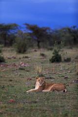 Early Evening Leisure (Xenedis) Tags: africa afrika animal bigcat bigfive cat eastafrica gamedrive grass kenya lion lioness maasaimara maranorthconservancy narokcounty offbeatpride pantheraleo republicofkenya riftvalley safari simba trees wildlife