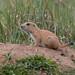 Prairie Dogs at Rocky Mountain Arsenal