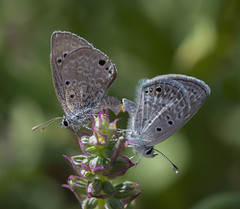 It's what you do in triple digit heat & 20mph winds, apparently (nwitthuhn) Tags: butterflies reakirtsblue malefemale mating