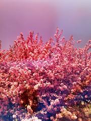 Pink May Tree (Bracus Triticum) Tags: pink may tree calgary カルガリー アルバータ州 alberta canada カナダ stetsons 5月 五月 早月 gogatsu satsuki fastmonth 2018 令和元年 summer reiwa