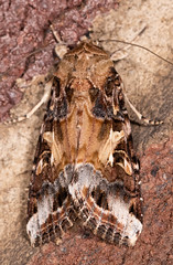 Yellow-striped Armyworm Moth (drkilmer) Tags: myersville maryland unitedstatesofamerica