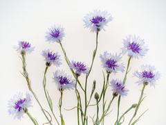 composition of cornflowers (cultivars) (de_frakke) Tags: cornflowers cultivars neighborsgarden