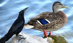 Odd couple (thomasgorman1) Tags: canon birds nature blackbird duck marina water outdoors rock arizona