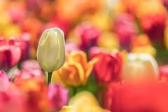 Standing Tall (mclcbooks) Tags: flower flowers floral macro closeup tulip tulips denverbotanicgardens colorado