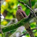 Little Cuckoo-dove (Macropygia ruficeps)