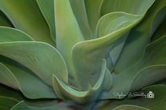 Aloe-Vera-Plant-Flickr-Portfolio-Image-photo-by-stephen-smedley