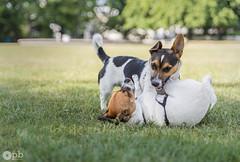 Sue Ellen & Rocky (Philippe Bélaz) Tags: jackrussell rocky sueellen blanc chiens fauve jeux noir parc vert