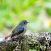 Little Pied Flycatcher (Ficedula westermanni)