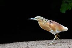 squacco heron (Cloudtail the Snow Leopard) Tags: rallenreiher tier animal bird vogel reiher ardeola ralloides squacco heron zoo heidelberg