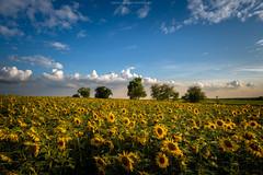 Sunflowers (Sascha Gebhardt Photography) Tags: nikon nikkor d850 1424mm lightroom landscape landschaft deutschland germany brandenburg photoshop travel tour reise roadtrip reisen fototour fx