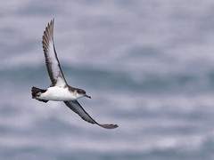 Just occasionally a Manx Shearwater comes close 😊 (Ted Smith 574) Tags: manx shearwater