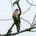Sunda Cuckoo (Cuculus lepidus)